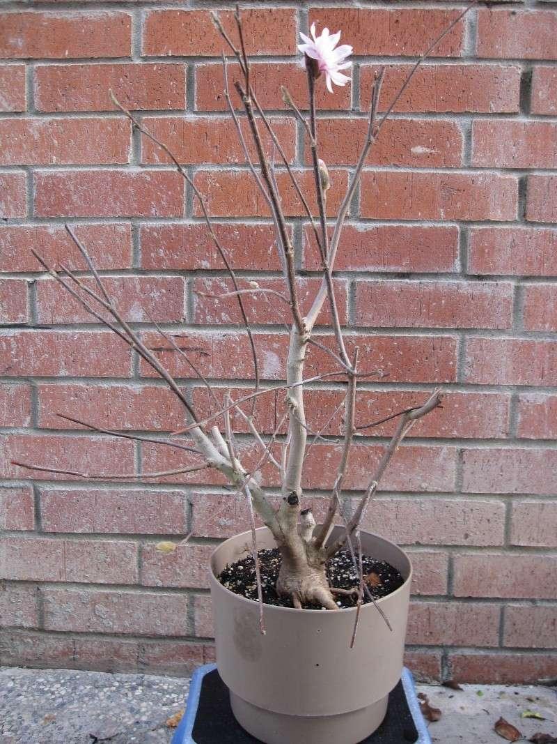 magnolia - Star Magnolia. Img_1610