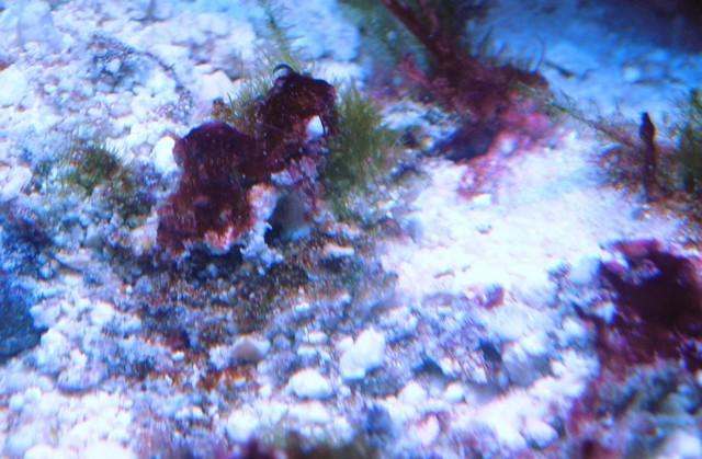 algues rouges Algues19