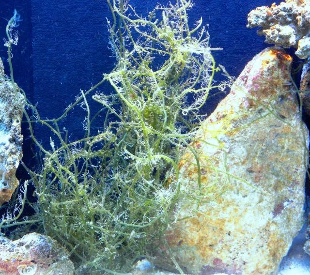 """Pousse des """"bonnes"""" algues Derbes13"""