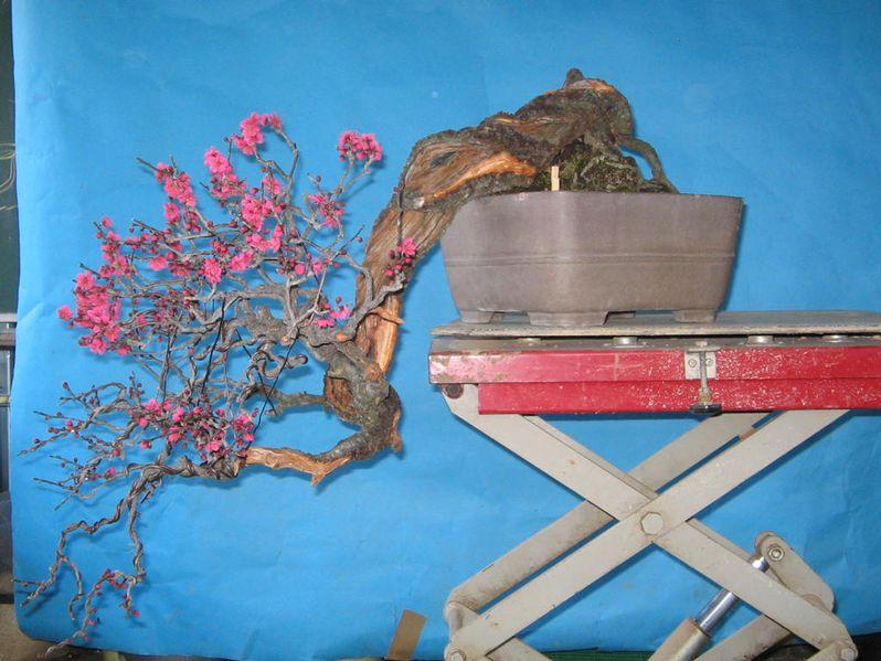 RESTYLING.....Prunus mume. 20089210