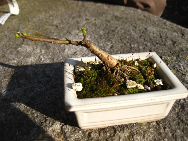 Ficus-Carica - Pagina 2 Img_6415