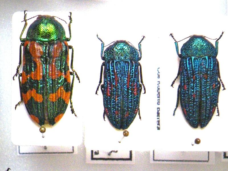 Buprestidae Chili Dscf5510