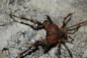 Insecte au Chili Arrier11