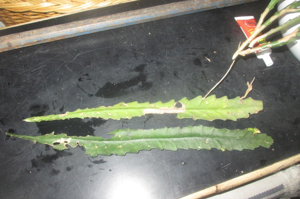 epiphyllum ??? Img_2710