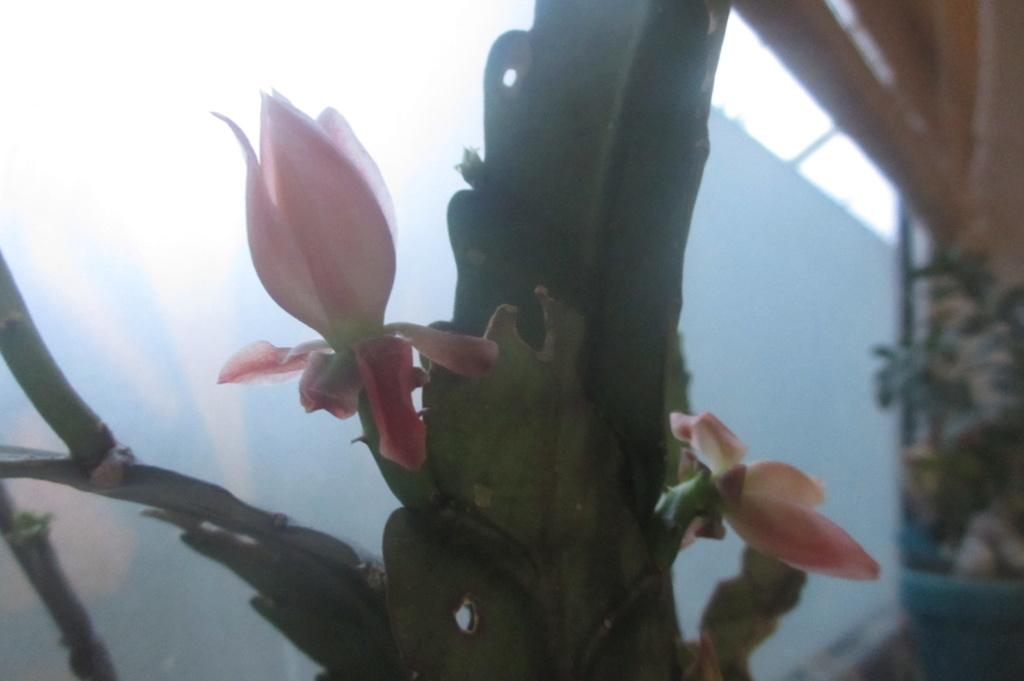 epiphyllum ??? Img_2711