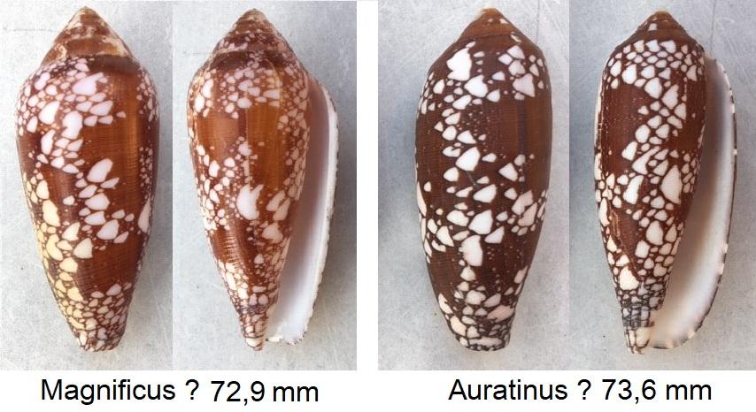 Conus (Darioconus) magnificus Reeve, 1843 et Conus (Darioconus) aulicus Linnaeus, 1758 11010