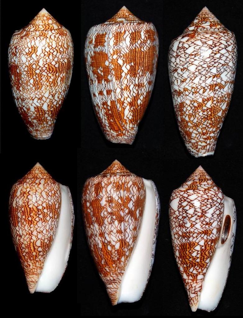 Conus (Cylinder) textile   Linnaeus, 1758 - Page 8 18012210