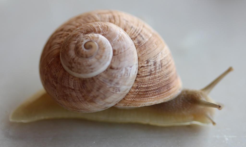 Iberus gualtieranus alonensis (A. Férussac, 1821) 210