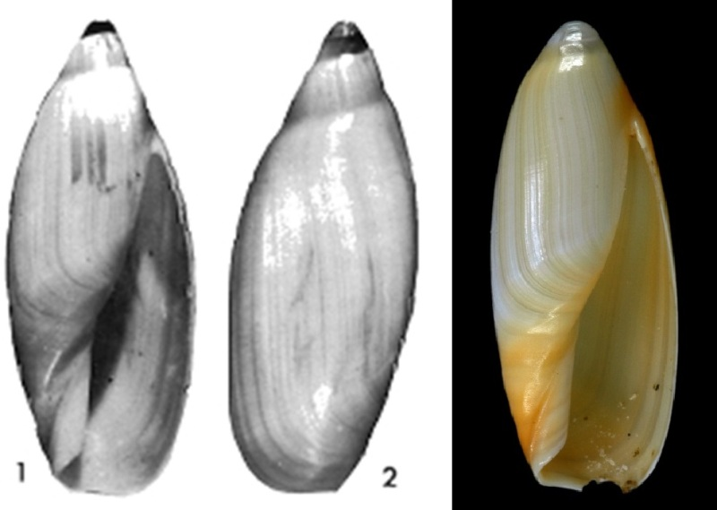 Anolacia  aureocallosa (Kilburn & Jenner, 1977) 4e_24511