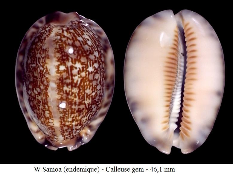Mauritia arabica var aikae (Lorenz, 2017) 50c10