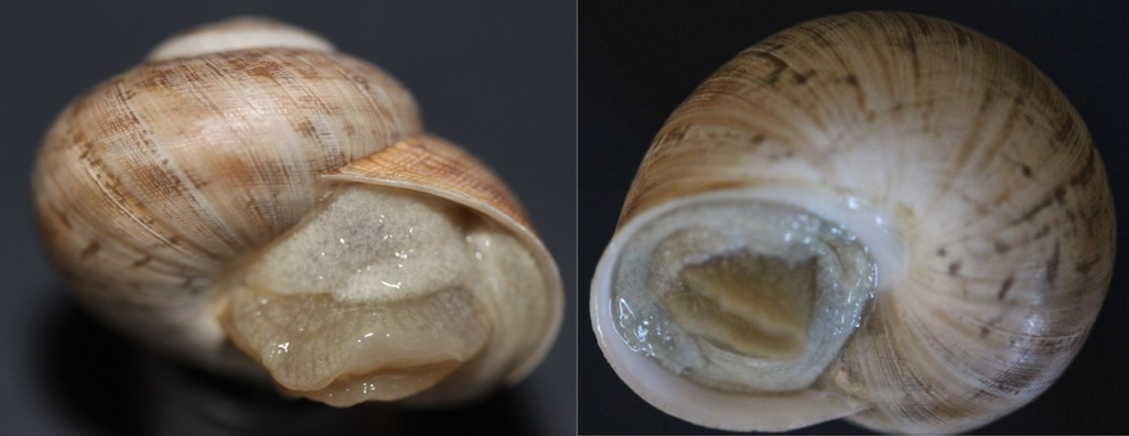 Iberus gualtieranus alonensis (A. Férussac, 1821) 611