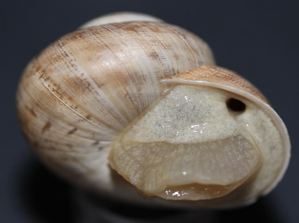 Iberus gualtieranus alonensis (A. Férussac, 1821) 710
