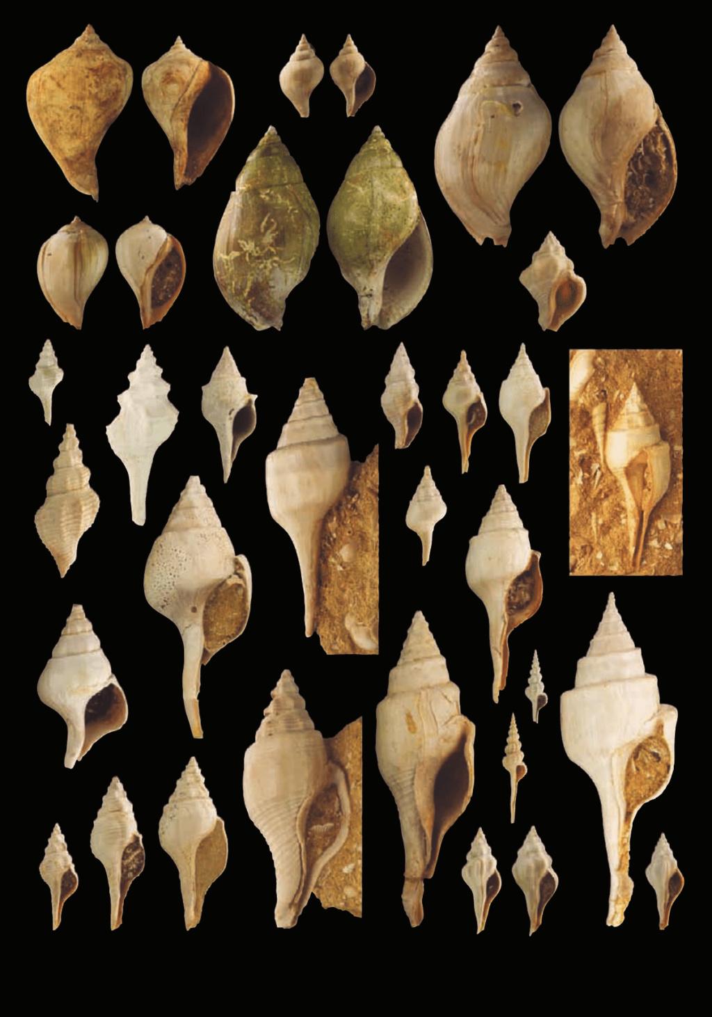 Fasciolariidae - † Clavilithes (Clavellofusus) clavellatus (LAMARCK, 1803) - Lutétien 7_fasc10