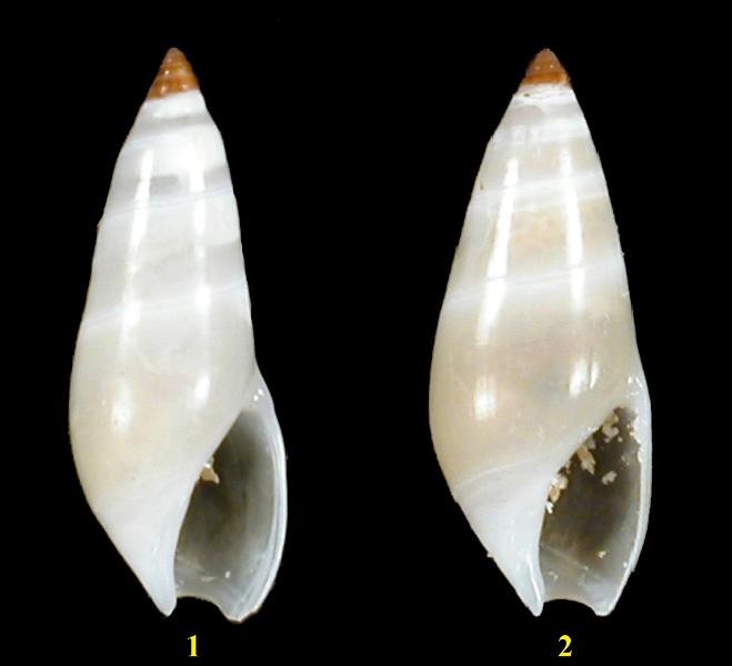 Ancillariidae Ancillina - Le genre, les espèces, la planche Ancill10