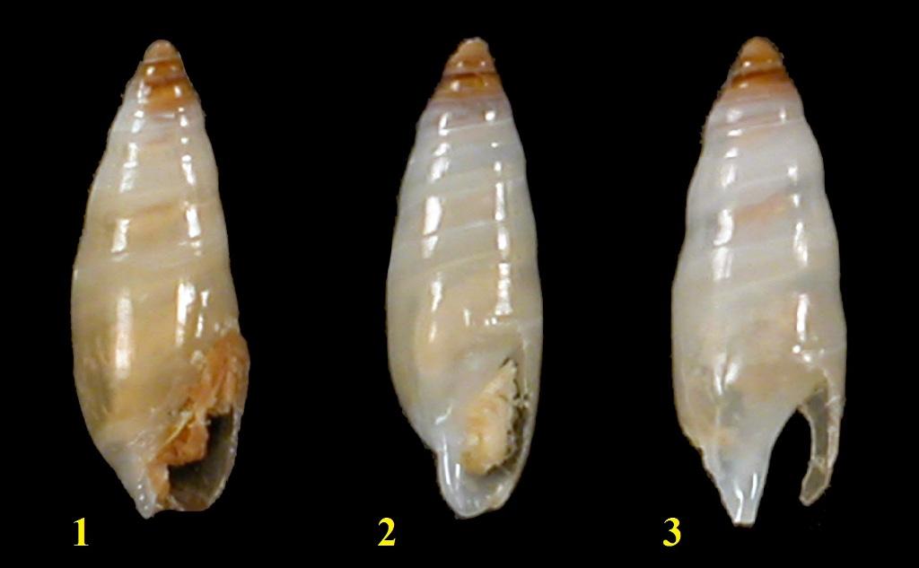 Ancillariidae Ancillina - Le genre, les espèces, la planche Ancill12