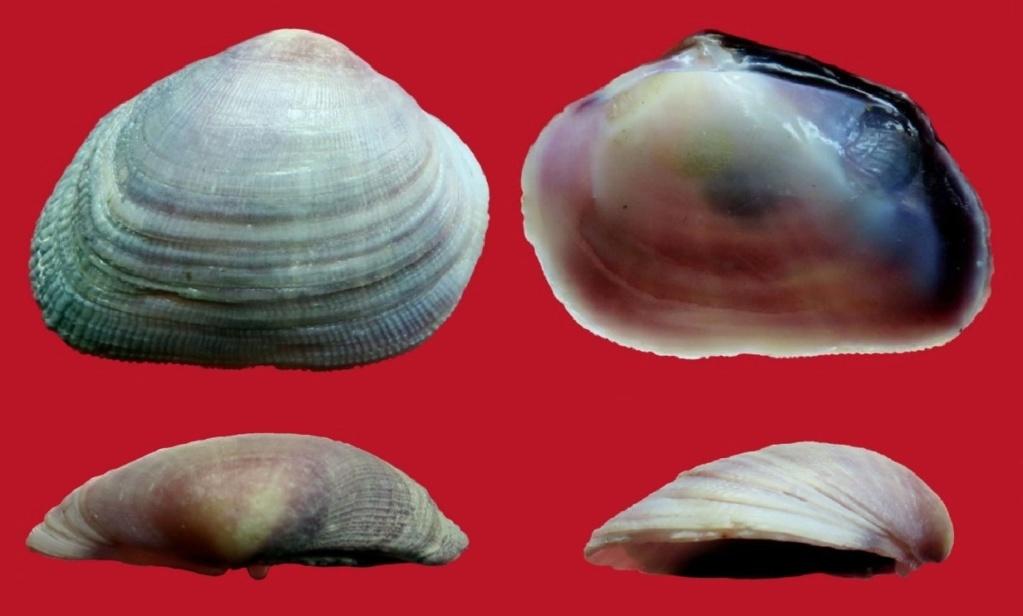 Asaphis deflorata (Linne, 1758)  Asapde10