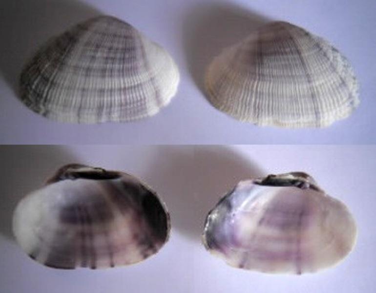 Mauritiana f. albiflora (Petrbock, 1932) à confirmer ou infirmer Bivalv12