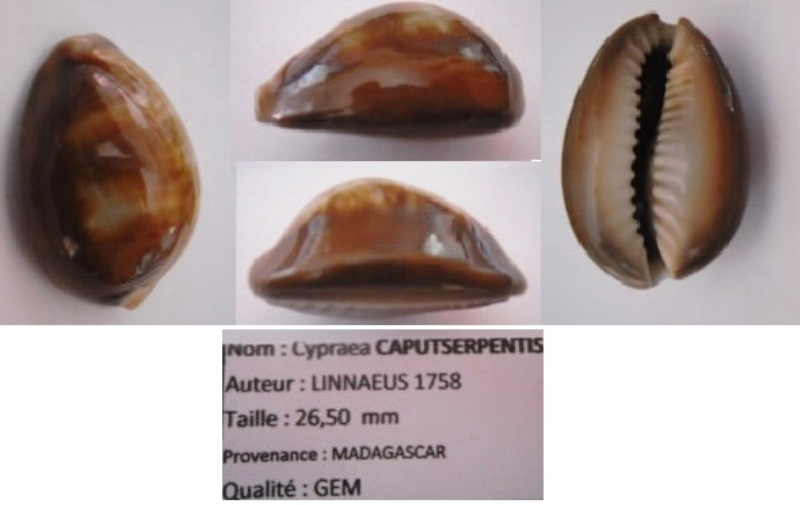 Monetaria caputserpentis caputserpentis - (Linnaeus, 1758) - bande rouge sur le côté Caputs10