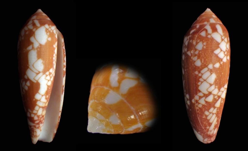Darioconus gracianus (da Motta & Blocher, 1982) Conus_11
