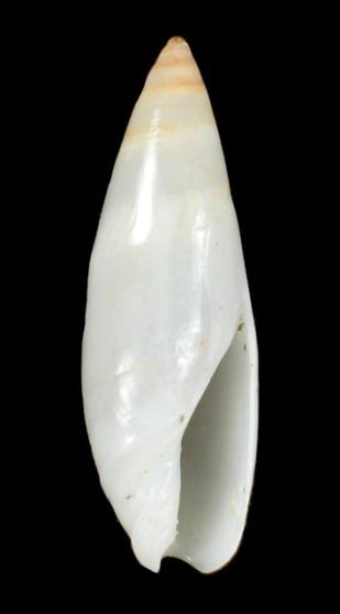 Genre Turrancilla von Martens, 1903  - Espèces actuelles Entre_11