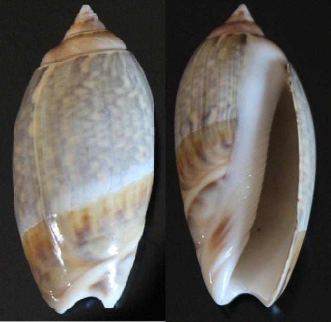 Confirmation Olividae Img_8413