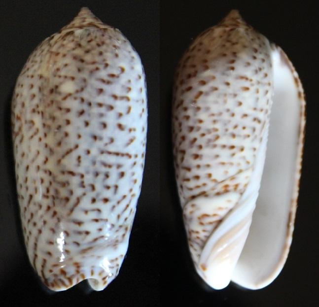 Confirmation Olividae Img_8414