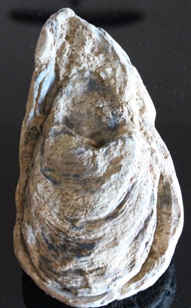 Ostreidae - † cf. Crassostrea longirostris (Lamarck, 1806) - 264 mm & 3.432 kg Img_8422