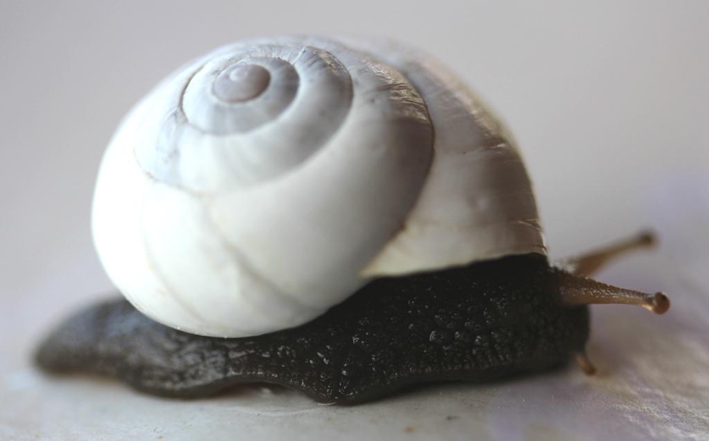 Sphincterochila candidissima (Draparnaud, 1801) Img_9011