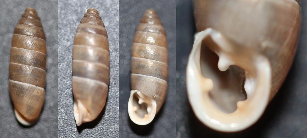 Jaminia quadridens f. elongata (Moquin-Tandon, 1856) Img_9113