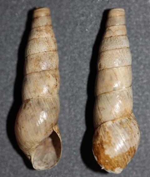 Rumina decollata (Linnaeus, 1758) Img_9117