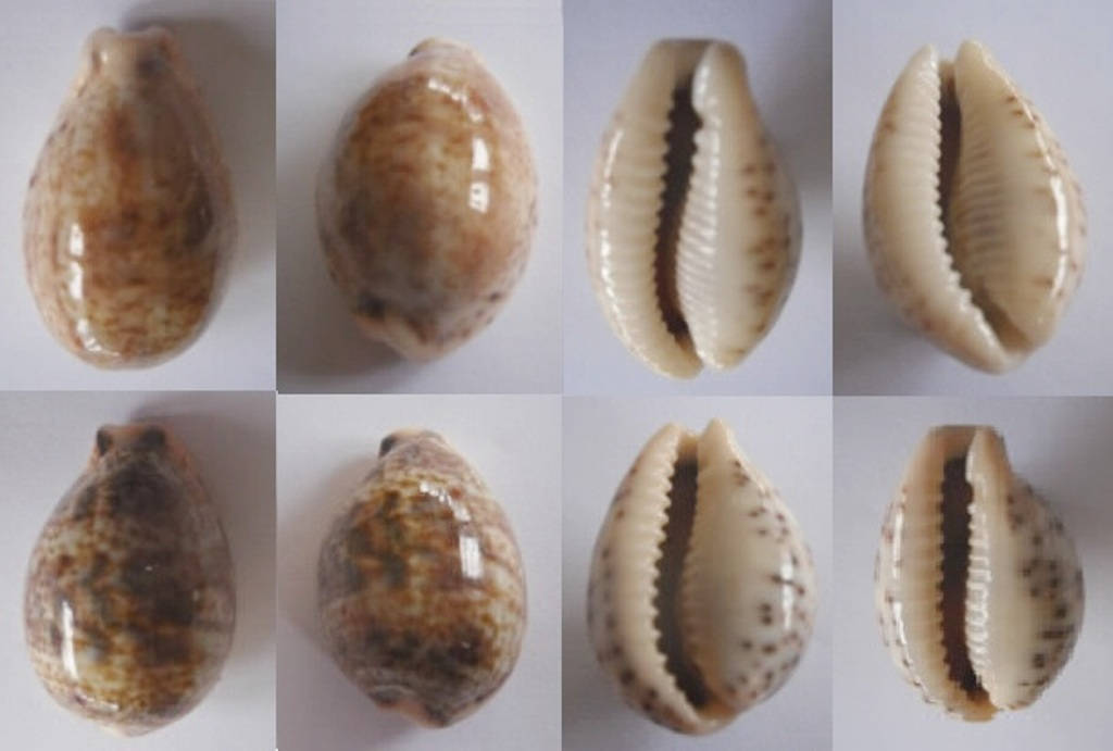 Palmadusta lentiginosa f. buhariensis - (Jonklaas, R.S.L. & K. Nicolay, 1977)  Lentig11