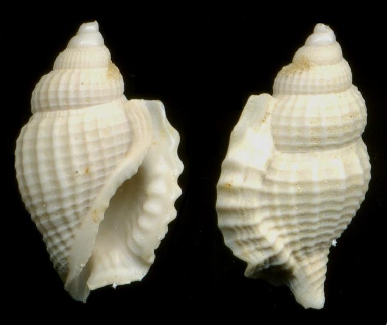 Strombidae - † Dientomochilus bartonensis ornatus (Deshayes, 1835) -  Lutétien / Bassin Parisien Moyen-10