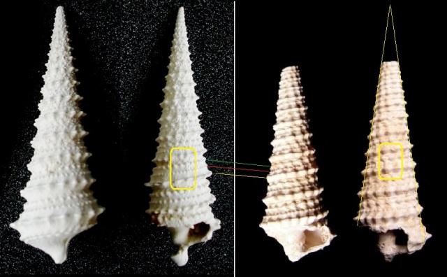 Potamididae - † Potamides lapidorum (LAMARCK, 1804) & † Potamides tricarinatus (LAMARCK, 1804) pour avis Pict0811