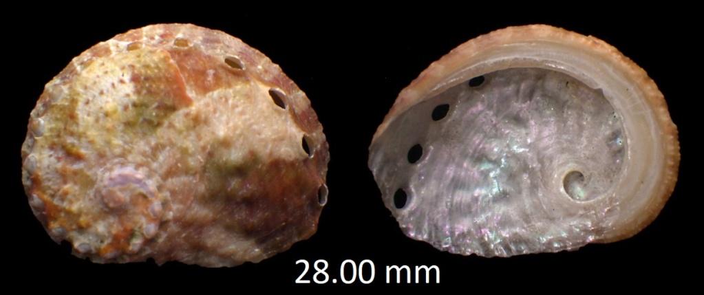 Haliotidae sorti du carton Rimg0111