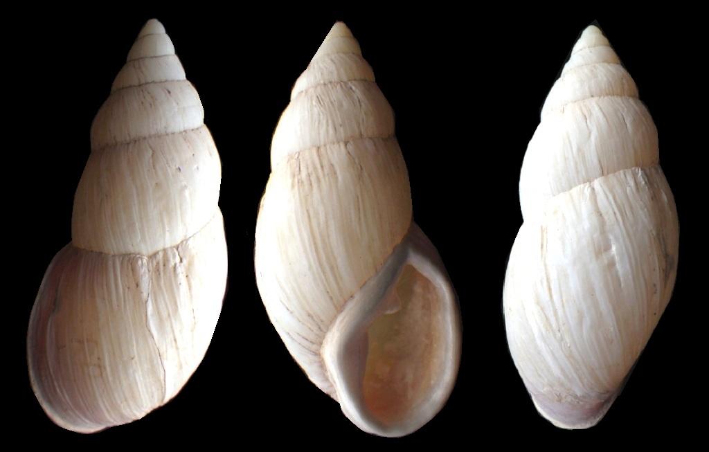Etiqueté Placostylus abbreviatus et ??? Rimg9310
