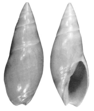 Genre Turrancilla von Martens, 1903  - Espèces actuelles Turran11