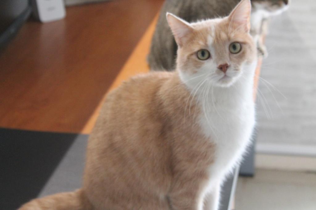 Adopté - Nougat - tabby roux et blanc né le 01/01/2015 Img_3113