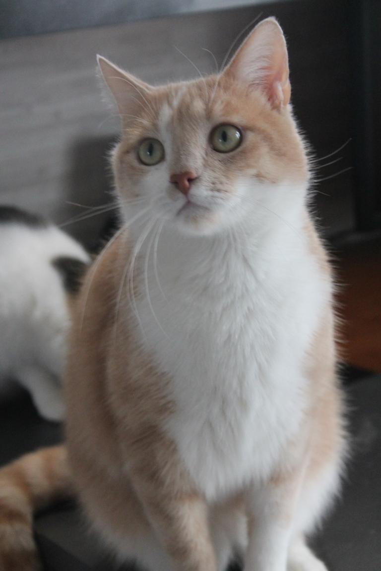 Adopté - Nougat - tabby roux et blanc né le 01/01/2015 Img_3114
