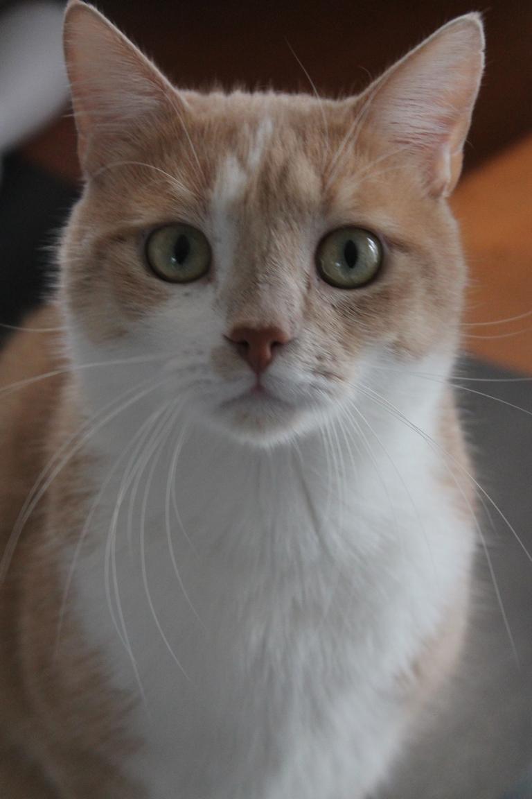 Adopté - Nougat - tabby roux et blanc né le 01/01/2015 Img_3115