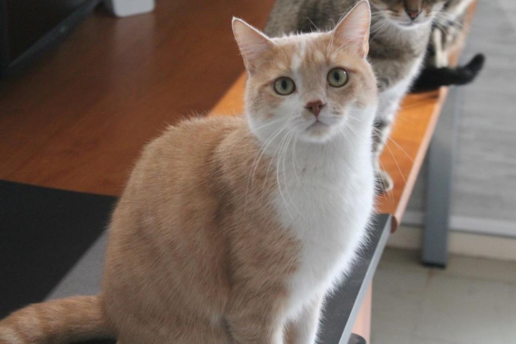 Adopté - Nougat - tabby roux et blanc né le 01/01/2015 Img_3116