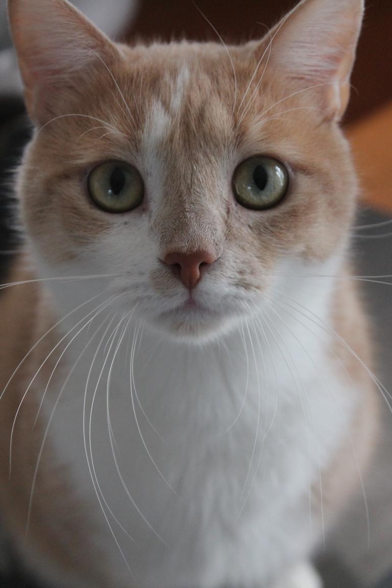 Adopté - Nougat - tabby roux et blanc né le 01/01/2015 Img_3117