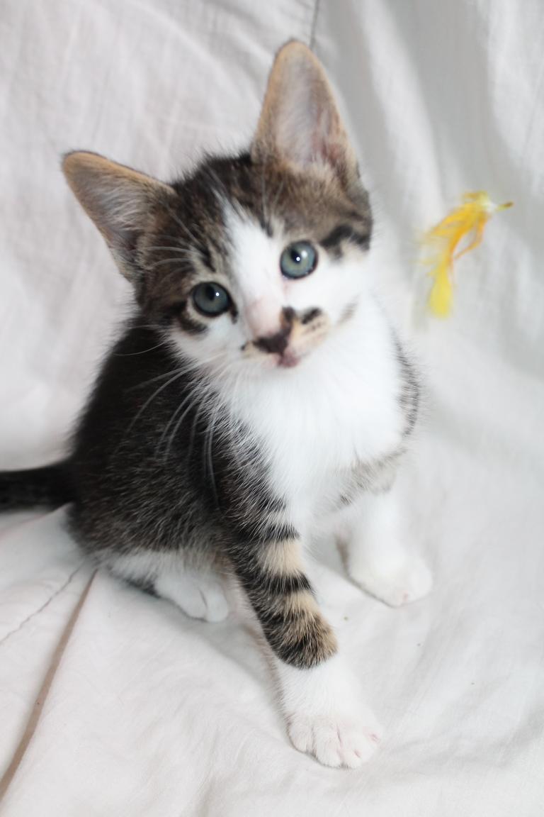 Adopté - Oréo - Tabby foncé et blanc , né le 10 Avril 2018 Img_4315