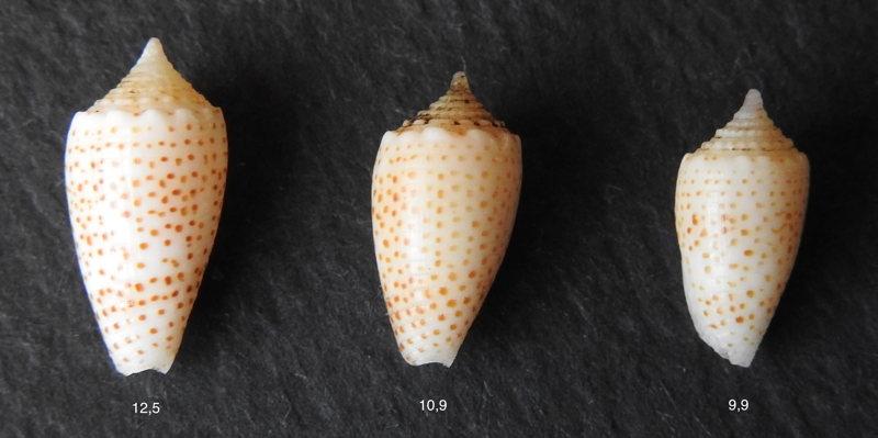 Conus (Puncticulis) arenatus  Hwass in Bruguière, 1792 - Page 3 Arenat10