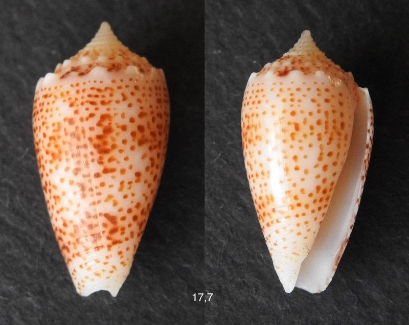 Conus (Puncticulis) arenatus  Hwass in Bruguière, 1792 - Page 3 Arenat11