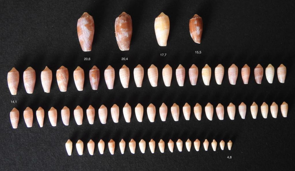 Conus_tulipa_juvénile Tulipa10