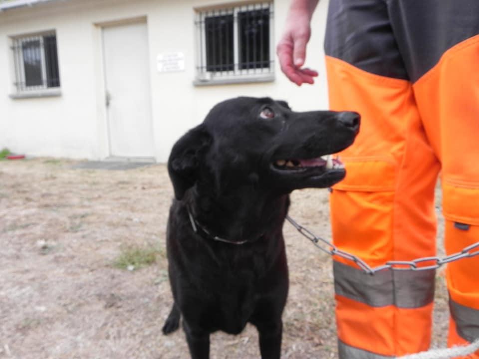 [CHIEN] Labrador et Caniche 41781711