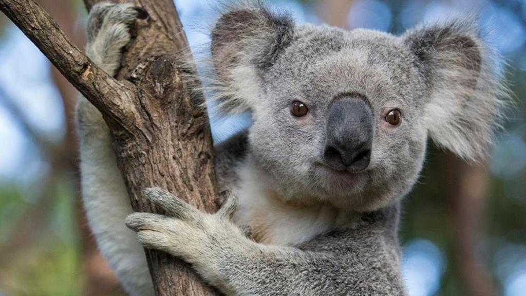 Je demande.... et j'obtiens ! - Page 28 Koalas10