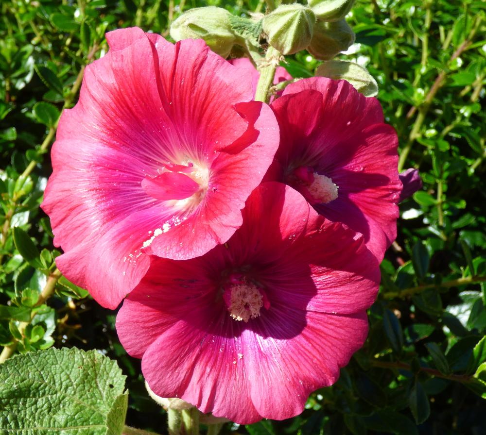 Le charançon de la rose trémière P1060225