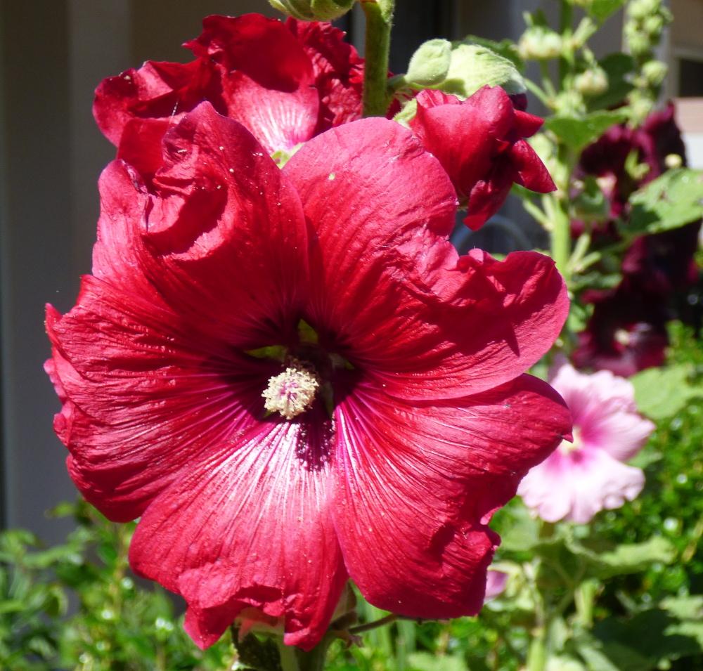 Le charançon de la rose trémière P1060226