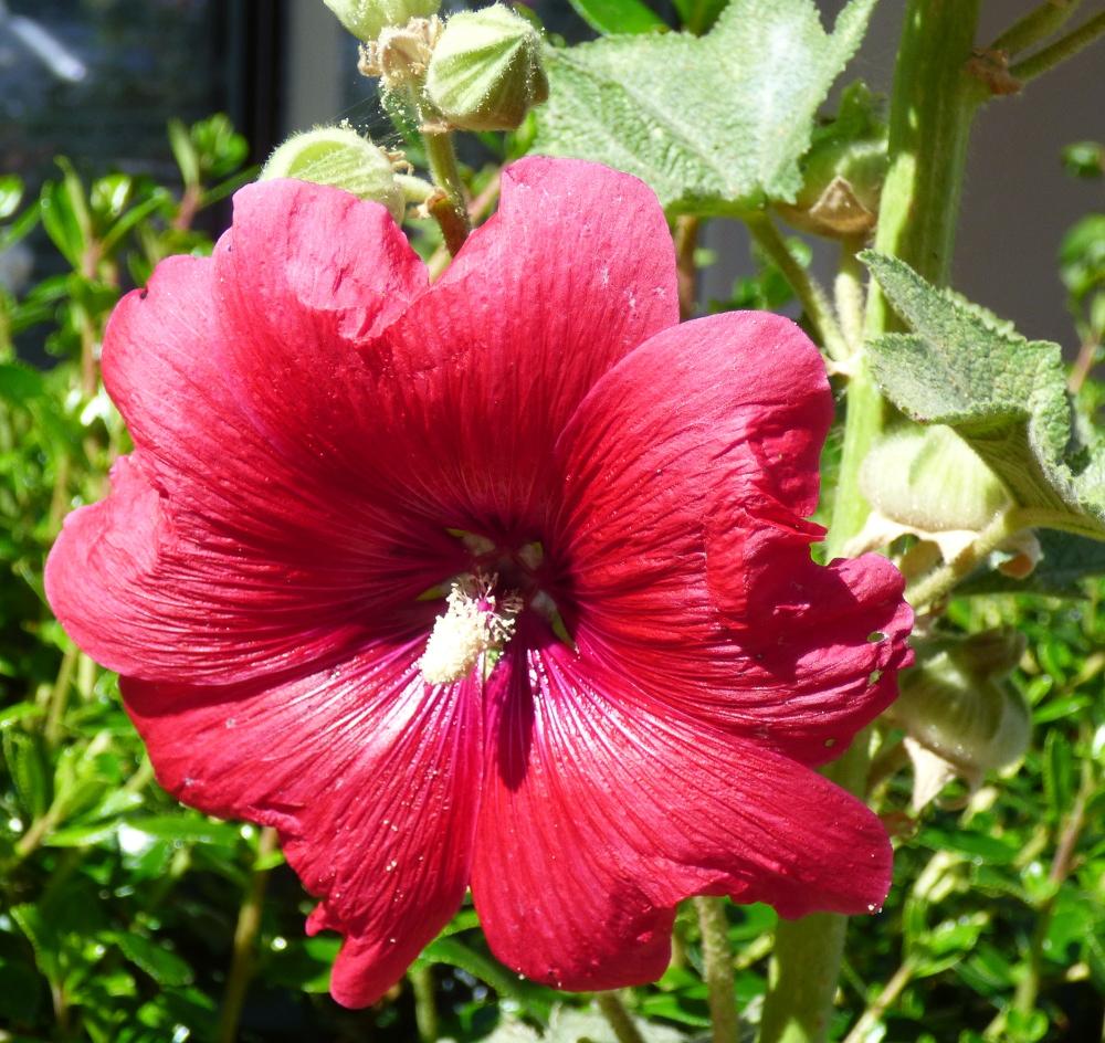 Le charançon de la rose trémière P1060227